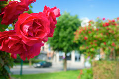 Bright red roses against the city street in the sunny summer day Stock Photo