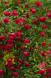 Bright red roses with buds on a background of a green bush. Beautiful red roses in the summer garden. Stock Image