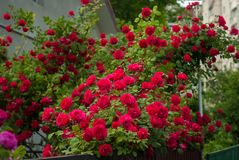 Bright red roses with buds on a background of a green bush after rain. Beautiful red roses in the summer garden. Stock Photo