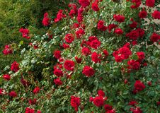 Bright red roses with buds on a background of a green bush after rain. Beautiful red roses in the summer garden. Royalty Free Stock Photography
