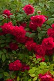 Bright red roses with buds on a background of a green bush after rain. Beautiful red roses in the summer garden. Royalty Free Stock Photo