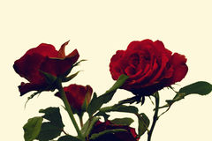 Bright red roses Stock Photos
