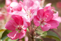 Bright red Japanese cherry flowers. Wonderful bright red Japanese cherry blossoms on a sunny spring day Stock Photo