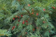 Bright red seed cones in the leafage of yew. Bright red seed cones in the leafage of taxus baccata Royalty Free Stock Images