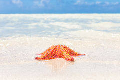 Bright red starfish (sea star) on a beach Royalty Free Stock Photo