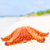Bright red starfish (sea star) on a beach Royalty Free Stock Photography
