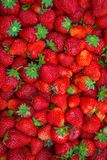 Bright red Strawberry grows on a Bush, from the land of rising strawberry. seedbeds. Bright red Strawberry grows on a Bush, from the land of rising young Royalty Free Stock Image