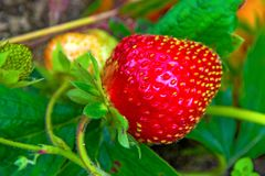 Bright red Strawberry grows on a Bush, from the land of rising young strawberry. Seedbeds Stock Photos