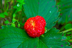 Bright red Strawberry grows on a Bush, from the land of rising young strawberry. Seedbeds Stock Image