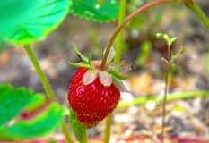 Bright red Strawberry grows on a Bush, from the land of rising young strawberry. Seedbeds Stock Photo