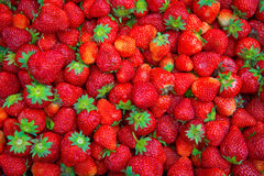 Bright red Strawberry grows on a Bush, from the land of rising strawberry. seedbeds. Bright red Strawberry grows on a Bush, from the land of rising young Royalty Free Stock Photography