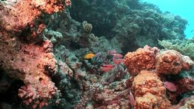 Bright red striped fish in corals underwater sea. Relax video about marine nature of beautiful lagoon stock video