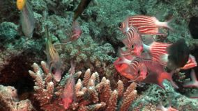 Bright red striped fish in corals underwater sea. Relax video about marine nature of beautiful lagoon stock video footage