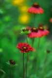 Bright red. Sunny day beautiful red wildflowers Stock Photo