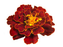 Bright red terry Marigold flower isolated on white background Stock Photo