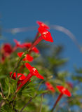 Bright red, tiny flower of Cardinal Climber Royalty Free Stock Image