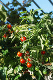 Bright red tomatoes Stock Photo