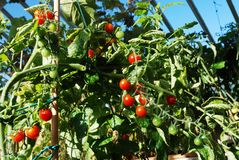 Bright red tomatoes grow on vines Stock Photography