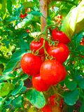 Juicy red tomato hanging on a branch . royalty free stock photos