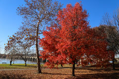 Bright Red Tree Royalty Free Stock Photography