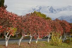 Bright red trees an autumn day. royalty free stock image
