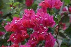 Deep Pink Bougainvillea flowers. Bright Red Tropical Flower is Blooming in Summer Sunny Day royalty free stock image