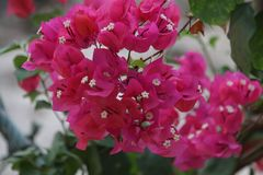 Deep Pink Bougainvillea flowers. Bright Red Tropical Flower is Blooming in Summer Sunny Day royalty free stock photo