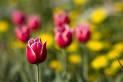 Bright red tulip Royalty Free Stock Photos