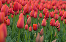 A bright red tulip flower background. Macro bokeh shot. A bright red tulip flower background. Macro bokeh shot Stock Images