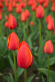 A bright red tulip flower background. Macro bokeh shot. A bright red tulip flower background. Macro bokeh shot Stock Photography