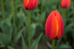 A bright red tulip flower background. Macro bokeh shot. A bright red tulip flower background. Macro bokeh shot Stock Image