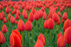 A bright red tulip flower background. Macro bokeh shot. A bright red tulip flower background. Macro bokeh shot Stock Photos