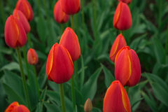 A bright red tulip flower background. Macro bokeh shot. A bright red tulip flower background. Macro bokeh shot Royalty Free Stock Photography