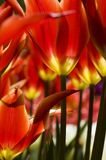 Bright red tulips Royalty Free Stock Photography