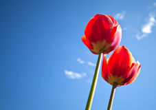 Bright-red tulips with blue sky Stock Images