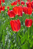 Bright Red Tulips Royalty Free Stock Photo