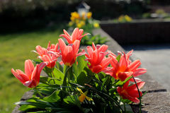 Bright Red Tulips in an English Country Garden. A row of stunning red Tulips in a sunny English garden in the Spring with Yellow Daffodils and green grass Stock Images