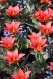 Bright red tulips Stock Photo