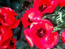 Bright Red Tulips Fully Open. Bright red Tulips in full bloom with their petals wide open giving one final display of their brilliant colors. These vivid flowers Stock Photo