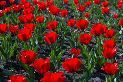 Bright red tulips. Royalty Free Stock Images