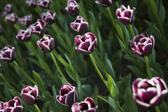 Bright red tulips Stock Images