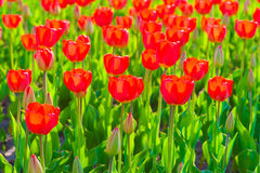 Bright red tulips on a sunny  day Stock Images