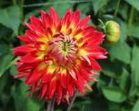 Bright Red Variegated Dahlia stock image