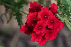 Bright Red Verbena Flowers. Cluster of bright red verbena flowers with purple centers royalty free stock photo