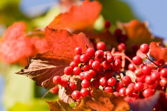 Bright red viburnum Stock Images