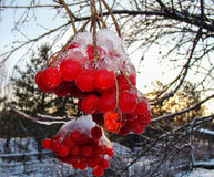 Bright red viburnum. With icicles on top Royalty Free Stock Photography