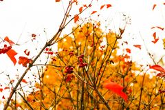 Bright red viburnum leaves and berries. With a blurred autumn forest in the background stock photos