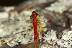 Two meadowhawk dragonflies attached in Sunapee, New Hampshire. Bright red white-faced meadowhawk dragonfly with a yellow meadowhawk attached to its abdomen Stock Image