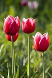 Bright red with white tulips Stock Image