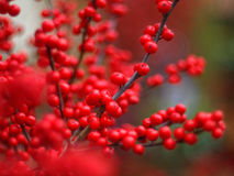 Bright red winterberry shrub. Close-up of bright red berries heavy fruiting in winter season. Ilex verticillata - Winter Red Royalty Free Stock Photo